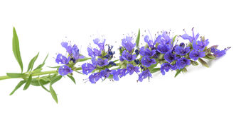 Fresh hyssop flowers stock photo