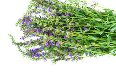Fresh hyssop herb stock photo