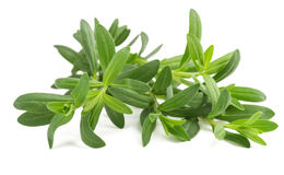 Fresh hyssop Hyssopus officinalis. HyssopHyssopus officinalis isolated on white background stock photography