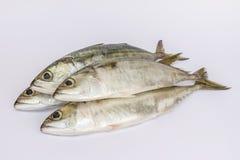 Fresh Indian Mackerel fish. On a white background Royalty Free Stock Images