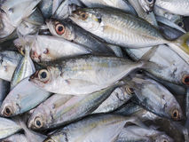 Fresh Indian mackerel. Stock Photo