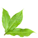 Fresh insulin Leaves after the rain isolated Stock Images