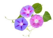 Free Fresh Ipomoea, Morning Glory Flowers Isolated On White Background Royalty Free Stock Photography - 178344177