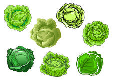 Fresh isolated green cabbage vegetables Stock Photos