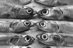 Fresh Italian anchovies. On plate Royalty Free Stock Image