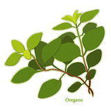 Fresh Italian Oregano Herb. Italian Oregano, aromatic perennial herb with pungent leaves used as seasoning in Italian, Mediterranean, Latin and many other Royalty Free Stock Images