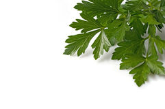 Fresh Italian Parsley Royalty Free Stock Photography