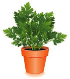 Fresh Italian Parsley Herb in Flower Pot Stock Images