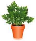 Fresh Italian Parsley Herb in Flower Pot Stock Images