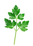 Fresh Italian Parsley on a White Background Stock Photo