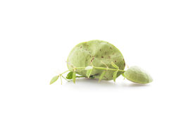 Fresh ivy on white background. Royalty Free Stock Images