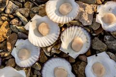 Fresh Japanese scallop Chlamys nippo-nensisi on the coast of Japan sea, Pacific ocean