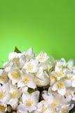 Fresh jasmine Royalty Free Stock Image