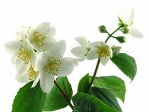 Fresh jasmine. Series flowers: branch of fresh jasmine Royalty Free Stock Images