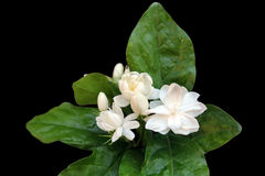 Fresh Jasmine flowers on black background. Royalty Free Stock Photography