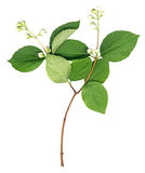 Fresh Jasmine spring branch Royalty Free Stock Photography