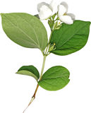 Fresh Jasmine spring branch Royalty Free Stock Photo