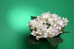 Fresh jasmine. Summer flower Royalty Free Stock Image