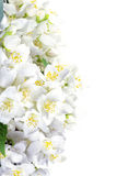Fresh jasmine. Summer flower Stock Images