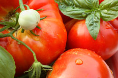 Fresh Jersey Tomatoes. Delicious ripe red Jersey tomatoes & basil Royalty Free Stock Image