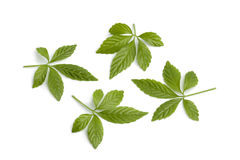 Fresh Jiaogulan leaves Stock Photo