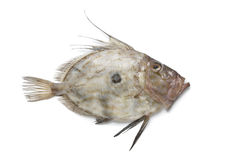 Fresh John Dory fish Royalty Free Stock Photography