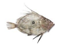Fresh John Dory fish Royalty Free Stock Photography