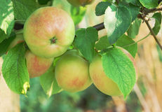 Fresh juicy apples on brunch close up Royalty Free Stock Photos