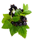 Fresh Juicy Blackcurrant Stock Photos