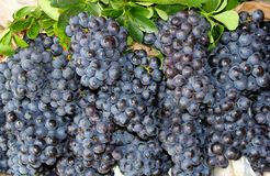 Fresh juicy bunches of blue grapes in the vineyard