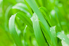 Fresh and juicy grass. Beautiful fresh and juicy green grass Stock Image