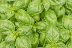 Fresh juicy green basil for mediterranean seasoning royalty free stock photography