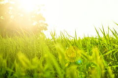 Fresh juicy green grass on the lawn. Grass in sunlight and glare. Summer sunset. Nature background. Photo with place for text. Copyspace Stock Image
