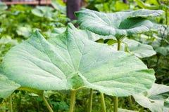 Fresh juicy green leaves of burdock Stock Photography