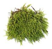 Fresh juicy green moss isolated on white. Fresh juicy green moss isolated  on white Stock Images