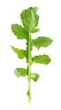 Fresh juicy leaf of rucola. On white background Stock Images