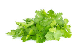 Fresh juicy organic bundle of cilantro Stock Photo
