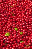 Fresh organic cranberries with green leaves over it - studio shot. Fresh juicy organic cranberries with green leaves over it - studio shot Royalty Free Stock Images