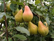 Fresh juicy pears on a pear branch stock image