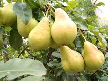 Fresh juicy pears on a pear branch stock photos