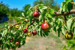 Fresh juicy pears on pear tree branch. Organic pears in natural environment. Crop of pears in summer garden. Fresh juicy pears on pear tree branch. Organic pears royalty free stock image