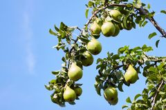 Fresh juicy pears on pear tree branch. Organic pears in natural environment. stock photo