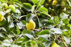 Fresh juicy pears on pear tree branch. Organic pears in natural environment. royalty free stock photo