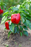 Fresh juicy ripe organic red peppers Royalty Free Stock Photography
