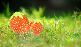 Fresh juicy strawberries plant grass Royalty Free Stock Images