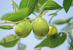 Fresh jujube Stock Photography