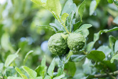 Fresh Kaffir Lime (Bergamot) with water drop Royalty Free Stock Image