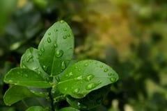 Fresh Kaffir lime leaf on tree. Royalty Free Stock Image