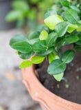 Fresh Kaffir lime leaves Stock Image