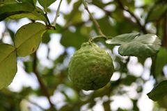 Fresh kaffir lime on tree with green leaves background, Bergamot a citrus tree of southeast Asia with green fruit. stock image